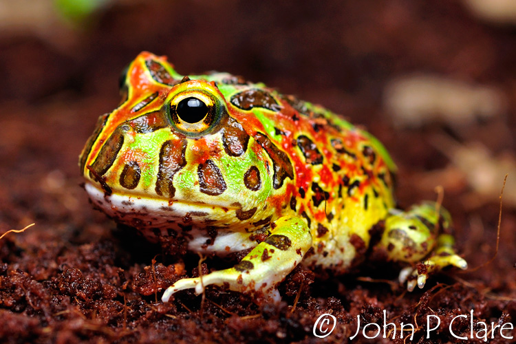 Ornate Horned Frog - Ceratophrys ornata
