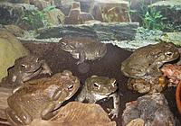 Colorado River Toads!