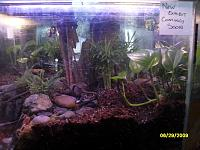 In this terrarium I decided on a flowing stream and small pond. In the pond I put ghost shrimp (which do a great job at filtering the water) 2 fancy...