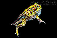 Ornate Horned Frog/Pacman Frog (Ceratophrys ornata). Finishing metamorphosis.