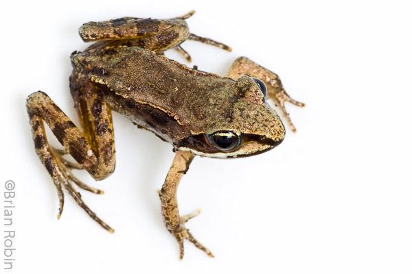 Name:  Wood Frog-1.jpg Views: 588 Size:  85.5 KB