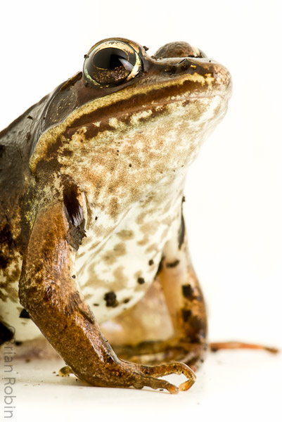 Name:  Wood Frog-2.jpg Views: 177 Size:  131.0 KB