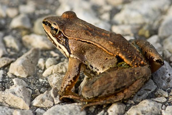 Name:  Wood Frog-3.jpg Views: 1066 Size:  137.0 KB