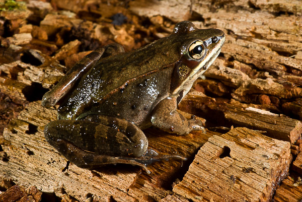 Name:  Wood Frog-6.jpg Views: 305 Size:  197.8 KB