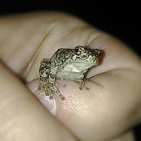 gandalf the gray  young american gray tree frog