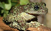 Vietnamese mossy tree frogs