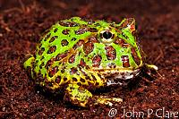 Ornate Horned Frog - Ceratophrys ornata  Juvenile  This species is also known by the common name of Bell's Horned Frog