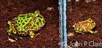 Ornate Horned Frog - Ceratophrys ornata  Juvenile and froglet  This species is also known by the common name of Bell's Horned Frog  You couldn't keep...