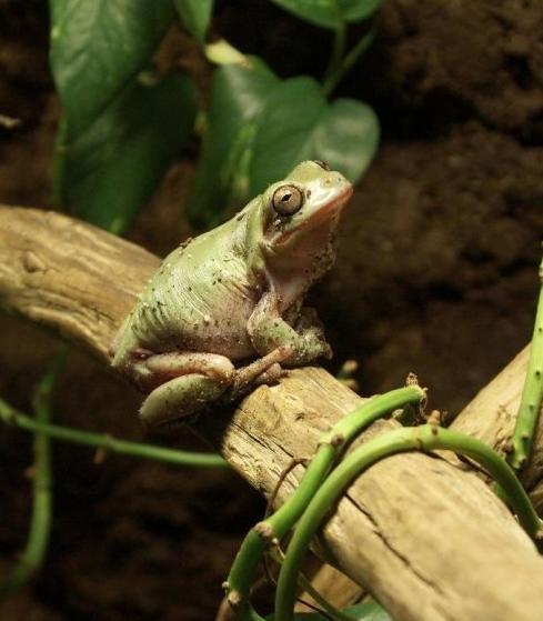 Name:  Whites Tree Frog.JPG Views: 219 Size:  34.9 KB