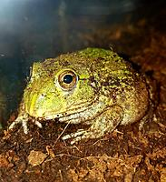 Tank the African bullfrog