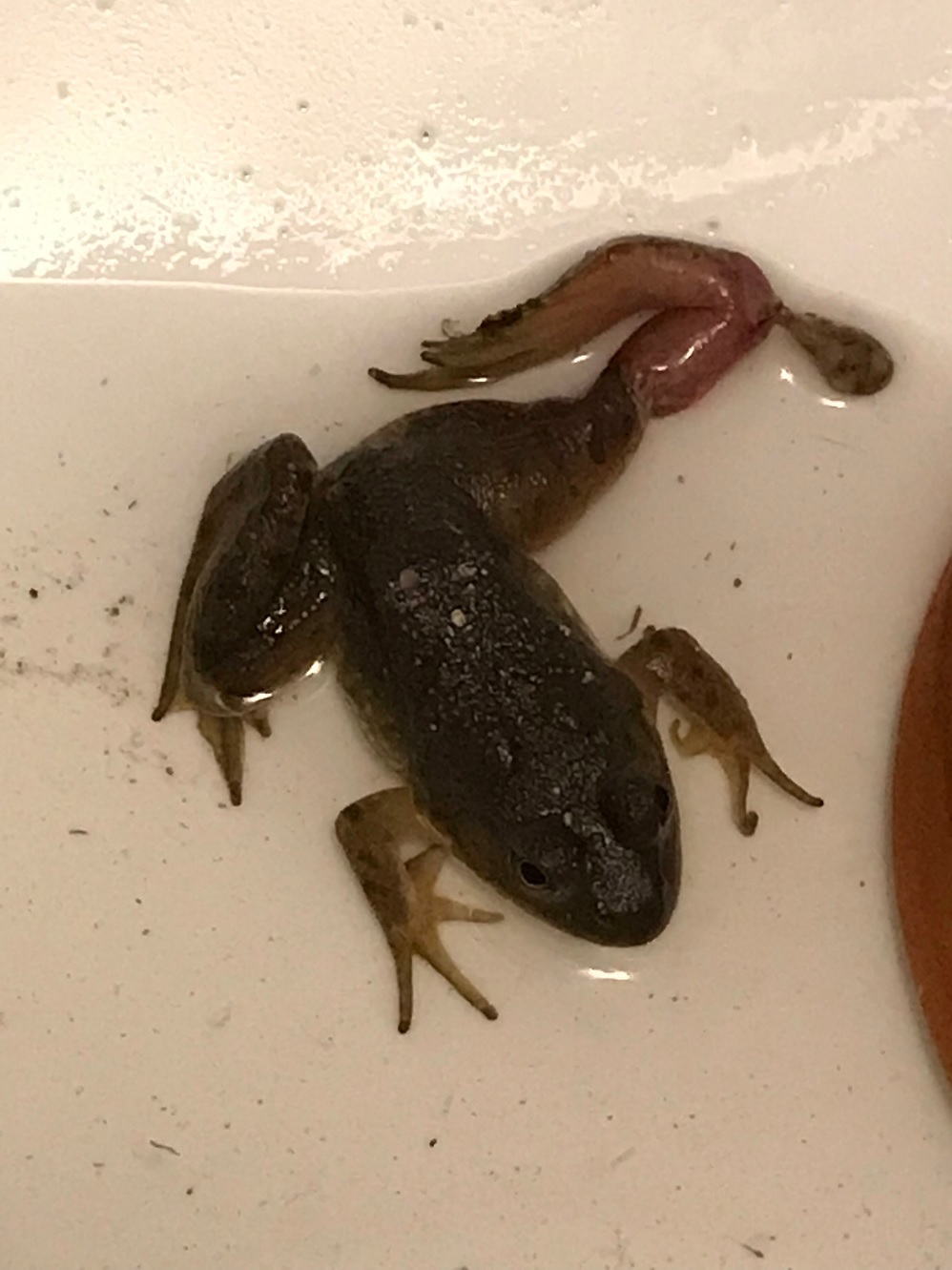 Name:  unidentified frog.jpg Views: 67 Size:  221.4 KB