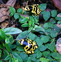 Dendrobates leucomelas - These are two out of three I have.  I have not heard any calling yet and it has been over a year.