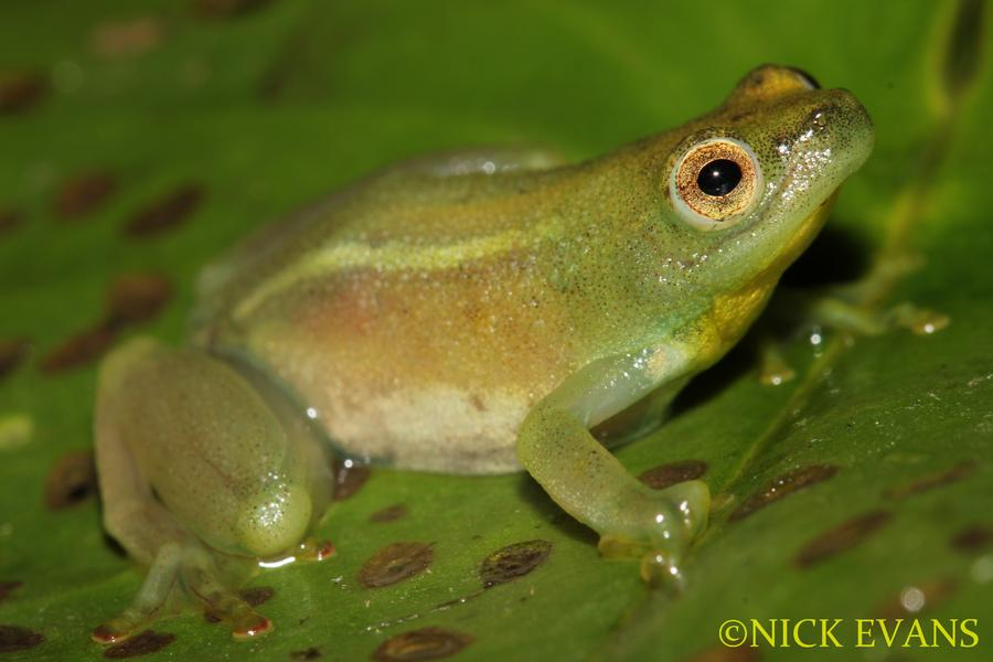 Name:  Waterlily Frog.jpg