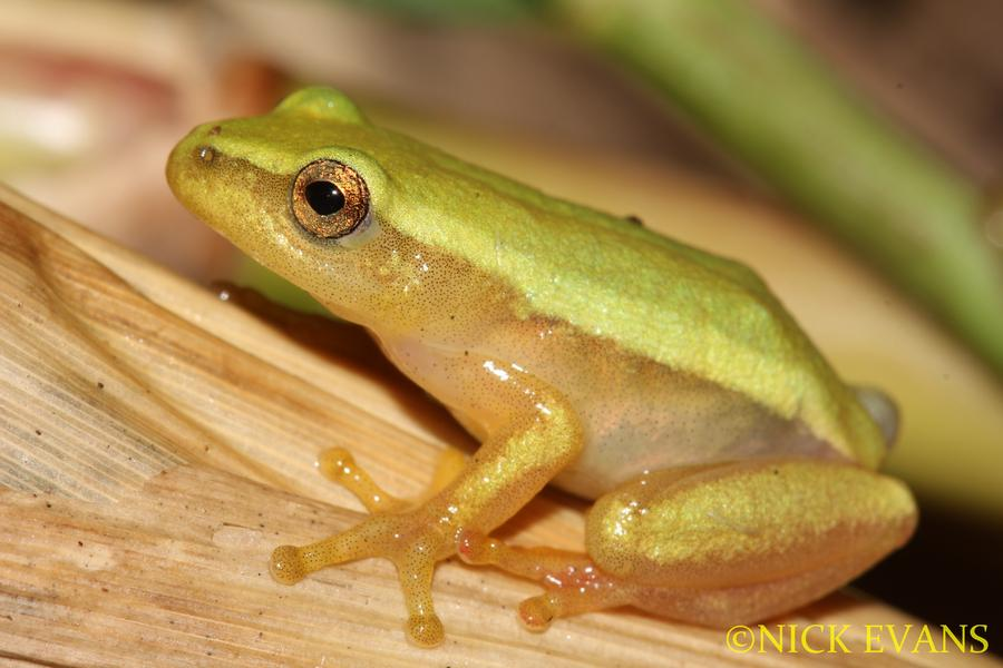 Name:  Pickersgill's Reed Frog.jpg