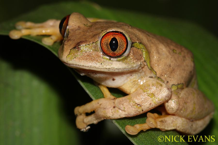 Name:  Natal Tree Frog (2).jpg