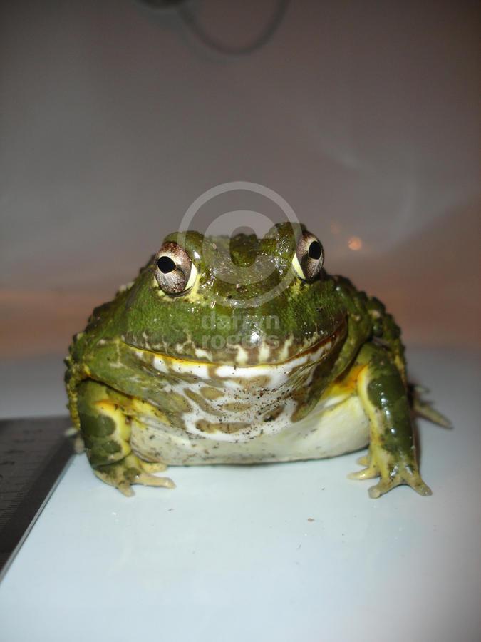 Name:  bullfrogs 3 copy.jpg Views: 462 Size:  56.8 KB