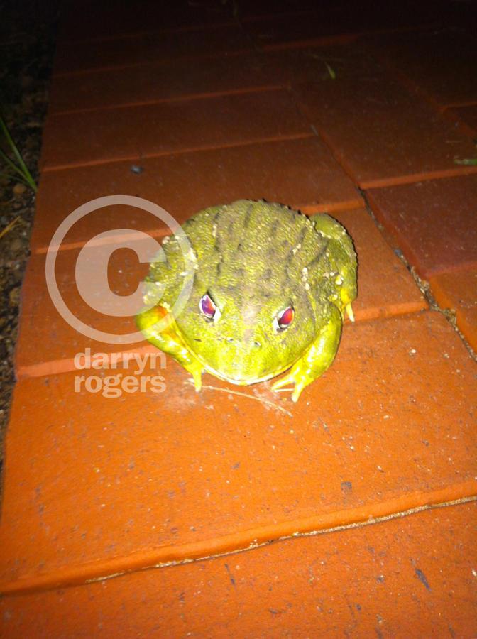 Name:  bullfrogs 5 copy.jpg Views: 269 Size:  105.3 KB