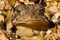 I'm pretty ambivalent towards toads, but I'd like to change that. This album is my attempt at toad appreciation. We only have the sour faced Bufo americanus here. Though pudgy, they just don't look anywhere near as jolly as even a slender gray treefrog. I'll try not to hold that against them.