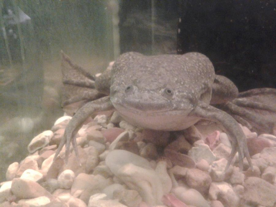 Name:  african frog 2.jpg