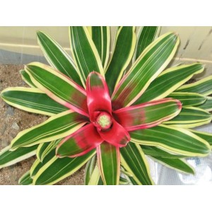 Name:  bromeliad-neoregelia-flandria-pup.jpg Views: 239 Size:  30.2 KB