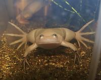 Xenopus (may laevis)