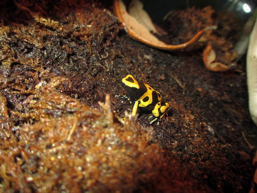 Name:  bumblebee frog.jpg Views: 150 Size:  116.6 KB