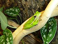 American Green Tree Frogs