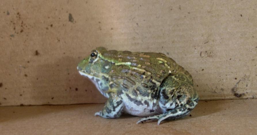 Name:  bullfrog4.jpg Views: 446 Size:  119.5 KB