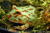 Chacoan Horned Frog aka Cranwell's Horned Frog  Ceratophrys cranwelli   Many individuals like this one are bright green when young but few retain the...