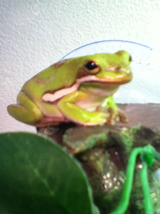 Name:  My other frog, Oak Blossom.jpg Views: 1026 Size:  60.1 KB
