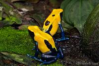 "Dendrobates tinctorius ""Citronella"" tadpole progress.