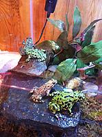 Fire Bellied Toads