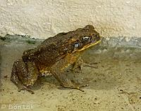 Out to visit - These frogs we found hidden in a friends carport where they have been living for years and appear whenever the car is washed or it...