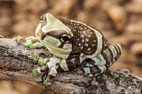 Photos for the Amazon Milk Frog Article.  Trachycephalus resinifictrix