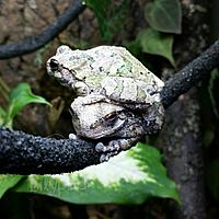 Gray Tree Frogs
