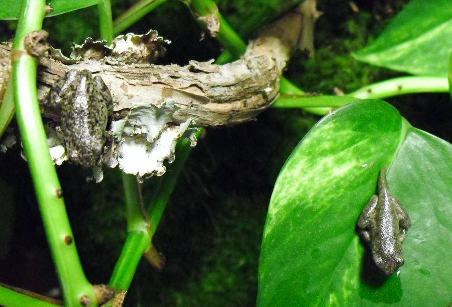 Name:  froglets 8-5-11.jpg Views: 105 Size:  80.7 KB