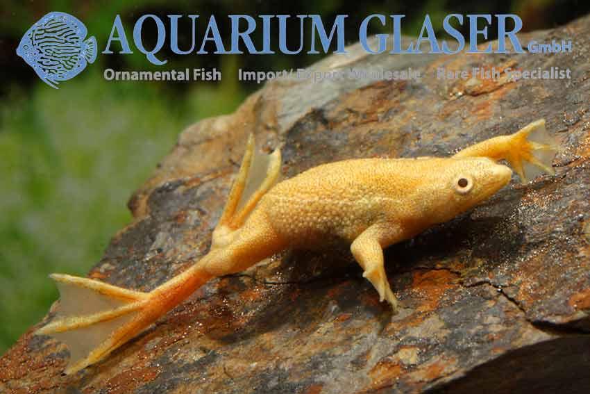 Name:  141832-hymenochirus-boettgeri-albino1.jpg Views: 85 Size:  44.0 KB