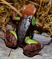 Beautiful Mantella  Nomenclature: Mantella pulchra  IUCN Red List: Vulnerable  Country of Origin: North-eastern Madagascar.    Information: This...