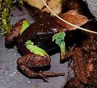 Beautiful Mantella   (Mantella pulchra)
