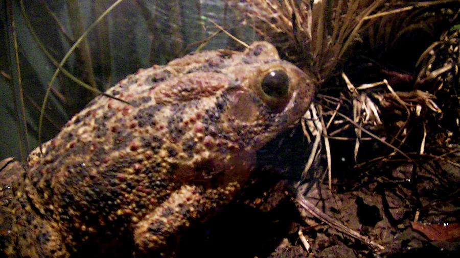 Name:  Toad Texidermy.jpg Views: 82 Size:  111.9 KB