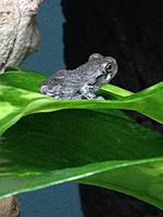 Colleen's Gray Tree Frogs
