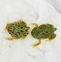 Ornate Horned Frog froglets (Ceratophrys ornata). The one on the right has a reduced pattern.