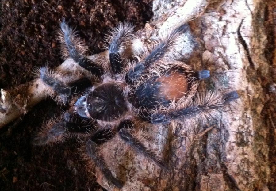 Name:  tarantula 003.jpg Views: 395 Size:  110.2 KB