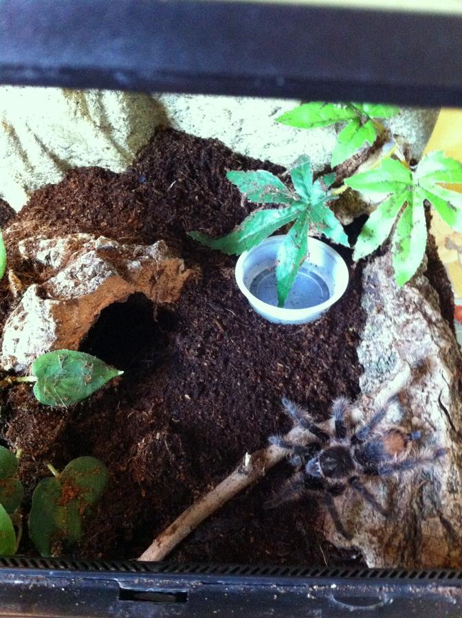 Name:  tarantula 004.jpg Views: 268 Size:  120.4 KB