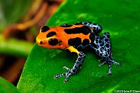 "The ""Orange and Blue"" race of Imitating Dart Frog, known as ""Varadero"", or sometimes referred to as ""Jeberos"""