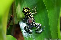 "Imitating Dart Frog - Dendrobates imitator / Ranitomeya imitator  ""Nominate"" line  Male transporting tadpole  This race appears to be the same in..."
