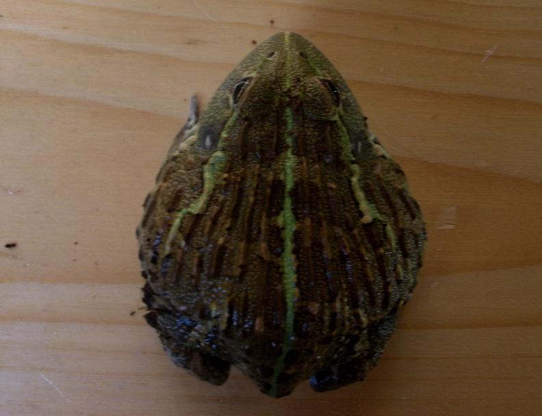Name:  bullfrog2.jpg Views: 451 Size:  116.9 KB
