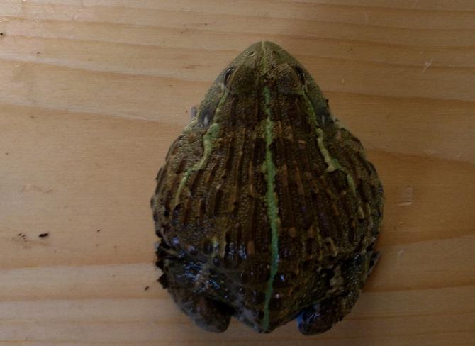 Name:  bullfrog1.jpg Views: 340 Size:  107.3 KB