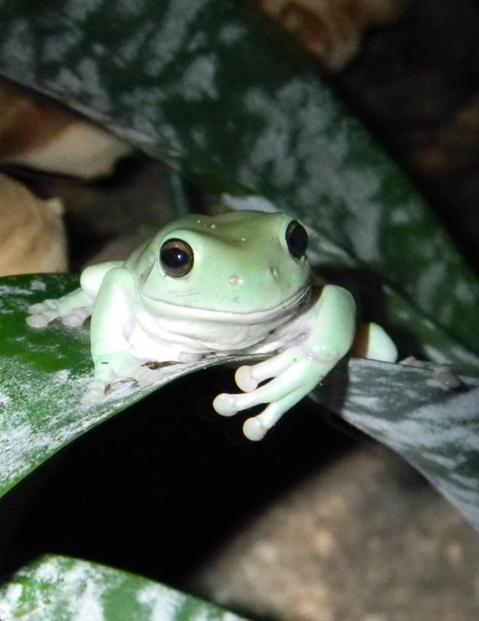 Name:  donlisk-albums-my-whites-tree-frogs-picture10381-just-hangin.jpg Views: 295 Size:  59.5 KB
