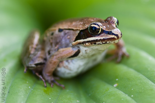 Name:  Wood Frog-8.jpg